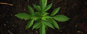california marijuana canabis growing
