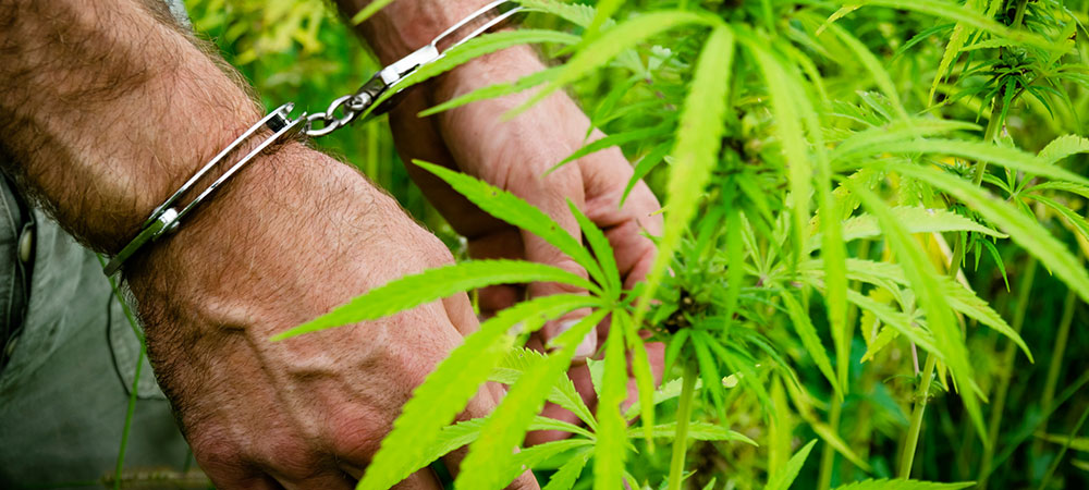 cannabis-marijuana- growers-law legal